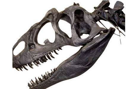 Schädel eines Allosaurus (Abguss) (1984-0036-0000)