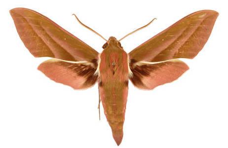 Deilephila rivularis aus Pakistan, 1969, Sammlung Vartian