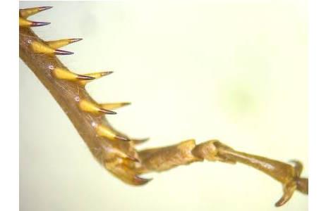 Abb. 3: Ägyptische Wanderheuschrecke (Anacridium aegyptium), bedornte Schiene und Tarsenglieder des Sprungbeines; Foto: M. Lödl, NHM Wien