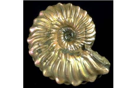 Schillernde Ammonitenschale (1990-0317-0001)