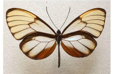 Ithomiinae (Unterfamilie der Edelfalter), Peru; Foto: M. Lödl, NHM Wien