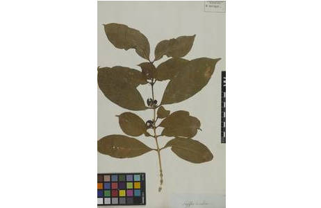 Beleg von Coffea arabica im Herbarium W [W-0072082]; Foto: NHM Wien