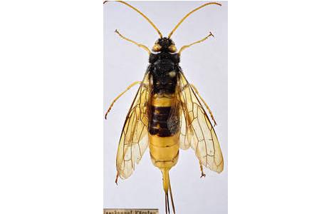Die abgebildete Holzwespe wurde vom österreichischen Entomologen Otto Scheerpeltz (1888-1975), einem ehemaligen Leiter der Käfer-Sammlung des Naturhistorischen Museums gesammelt und befindet sich in der wissenschaftlichen Hautflügler-Sammlung. ; Foto: NHM Wien