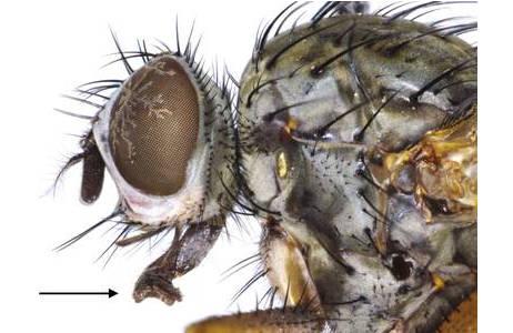 Seitliche Ansicht des Kopfes einer Blumenfliege (Hylemya strenua), Kremsmünster. Der Pfeil markiert den Rüssel zum Auftupfen von Nahrungsbrei; Foto: M. Lödl, NHM Wien