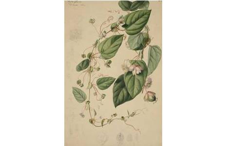 "Josef Seboth, ""Passiflora jileki"", Mischtechnik, vor 1866; Foto: NHM Wien"