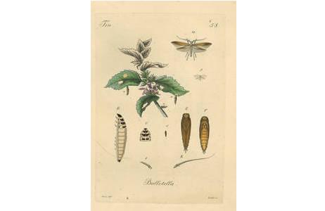 Tafel 58  Coleophora ballotella von Josef Mann, In: Fischer von Röslerstamm, E. J., Leipzig 1834-1843: Abbildungen zur Berichtigung und Ergänzung der Schmetterlingskunde, besonders der Microlepidopterologie