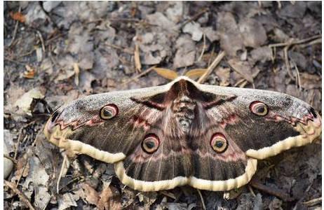 Das charakteristische Augenfleckmuster auf den Flügeln soll an größere Tiere erinnern und damit Prädatoren in die Flucht schlagen; Foto: S. Saadain, NHM Wien