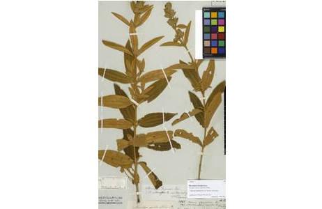 Typus Beleg von Microlepis trianaei Cogn. gesammelt von (Johann Baptist) Emanuel Pohl zwischen 1817-1819 im Bundesstaat Minas Geraes, Brasilien, ist ein veralteter Name und wird heute zu Pleroma oleifolia  (DC.) [W0071703] R. Romero gestellt; Foto: NHM Wien