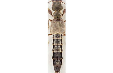 Rhynchocheilus monstrosipes (SCHILLHAMMER) - China; Foto: H. Schillhammer, NHM Wien