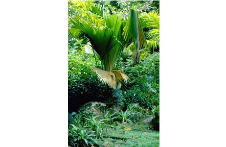 Jungpflanze der Seychellenpalme im botanischen Garten Victoria, in Mahé, Seychellen; Foto: Franz Tod, HBV