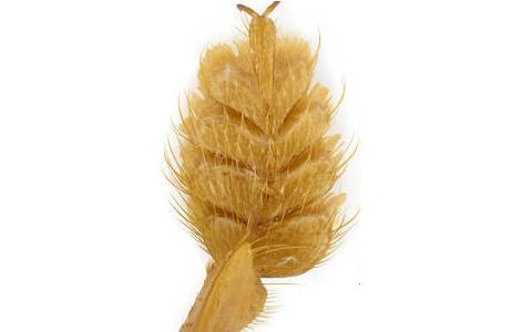 Vordertarsus von Rhyncocheilus dohertyi CAMERON - Laos; Foto: H. Schillhammer, NHM Wien