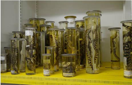 Gläser mit Alkoholpräparaten in der Herpetologischen Sammlung; Foto: K. Kracher, NHM Wien