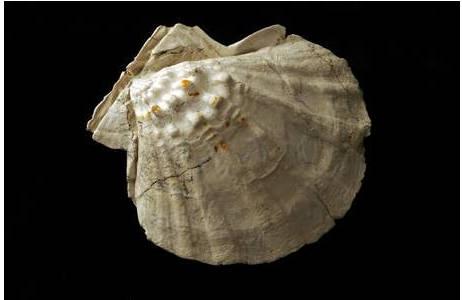 Überreste der Riesenkammmuschel (2011-0356-0007)