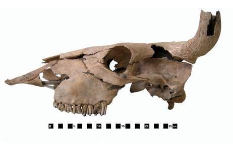 Römerzeitliches Teilskelett einer Kuh: Foto: E. Pucher, NHM Wien