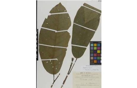 Diese Kakaopflanze wurde auf der Expedition der kaiserlichen Akademie in Wien nach Süd-Brasilien im Sept. 1901 von Wettstein & Schiffner gesammelt.; Foto: NHM Wien
