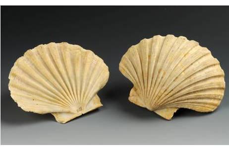 Jakobsmuschel (1846-0001-0181)