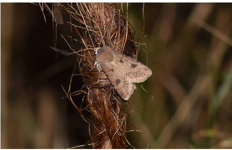 In warmen Sommernächten lassen sich häufig Ausrufezeichen-Eulen (Agrotis exclamationis) an der Köderschnur finden; Foto: S. Saadain, NHM Wien