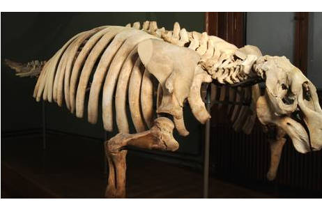 Skelett einer Stellerschen Seekuh; Foto: A. Schumacher, NHM Wien