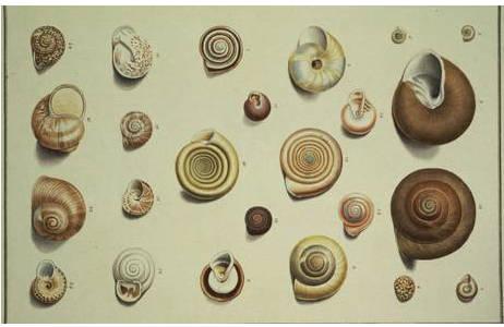 """Tafel 14 aus dem Prachtband von Born (1780) mit verschiedenen """"Helix""""-Arten; Foto: A. Schumacher, NHM Wien"""