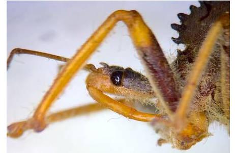 Zahnradwanze (Arilus cristatus) aus Amerika. Kopf mit dem gebogenen Stechrüssel zum Erbeuten von Insekten; Foto: M. Lödl, NHM Wien