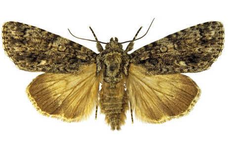 Die unauffällige dunkelgraue Art lässt sich anhand des kleinen weißen Flecks an der äußeren Querlinie der Vorderflügeln erkennen; Foto: H. Bruckner, NHM Wien