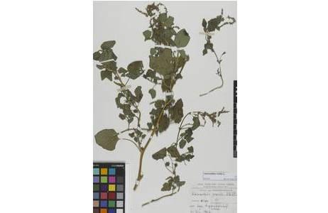 Herbarbeleg von Amaranthus gracilis [W1968-0014372]; Foto: NHM Wien