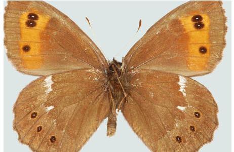Abb. 5: Weißbindiger Mohrenfalter (Erebia ligea), Ma?nnchen Unterseite, Slowenien, Steiner Alpen; Foto: M. Lödl, NHM Wien