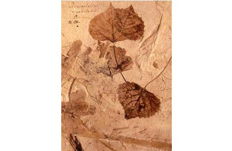 Fossile Blätter einer Pappel (1890-0006-0021)