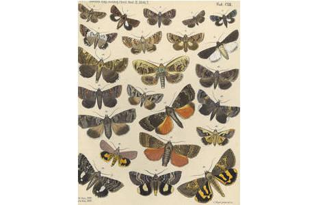 Tafel aus dem Lepidoptera-Atlas; Foto: NHM Wien