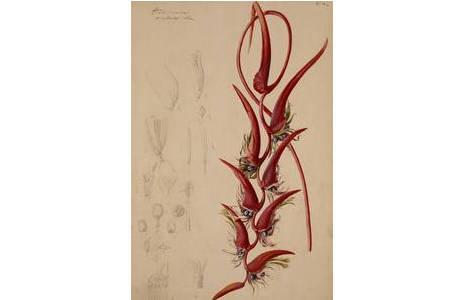 """Josef Seboth, """"Heliconia pendula"""", Mischtechnik, vor 1866; Foto: NHM Wien"""