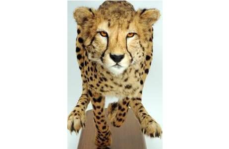 Gepard (NMW 69124): Foto: A. Schumacher, NHM Wien