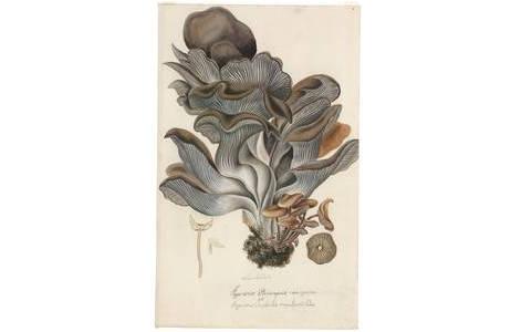 Franz Reinelli, Agaricus pleuropsis nova species et Agaricus omphalia cupularis, Aquarell, vor 1806; Foto: NHM Wien