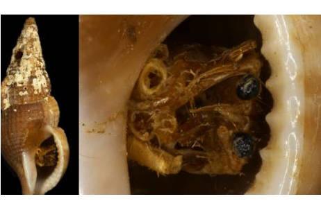Frontansicht Epidromus lanceolatus (Familie Buccinidae, Hornschnecken); Detailanischt mit Einsiedlerkrebs (Detailfoto, Maßstab 1mm), NHMW 28123 aus der Sammlung Monterosato, NHMW-MO28123, Mittelmeer; Foto: S. Schnedl, NHM Wien