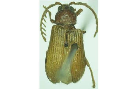 Phytocerum crenatostriatum Redtenbacher, 1868 (Coleoptera: Phytoceridae), Holotypus; Länge 5,5mm; Foto: R. Kundrata, NHM Wien