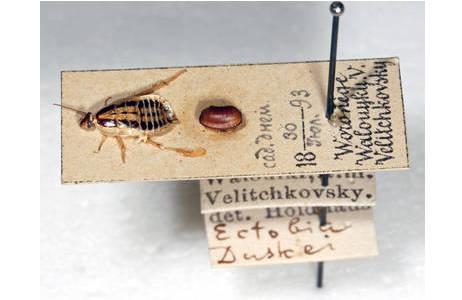 Ectobius (Ectobiola) duskei ADELUNG, 1906, historisches Trockenpräparat einer weiblichen Waldschabe mit Oothek auf Karton, beschriftet mit den Funddaten; Foto: H. Bruckner, NHM Wien