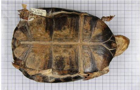 Ventralansicht, Typensammlung im Tiefspeicher der Herpetologischen Sammlung; Foto: H. Grillitsch, NHM Wien