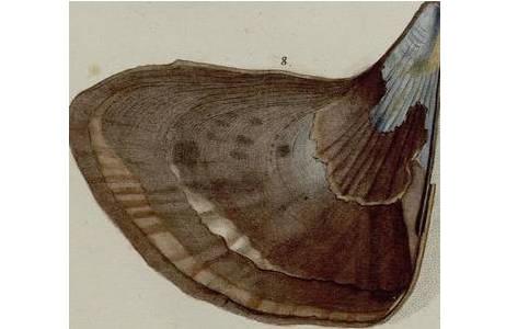 Originalzeichnung auf Tafel 7 aus dem Prachtband von Ignaz von Born (1780) ; Foto: NHM Wien, Mollusken Sammlung