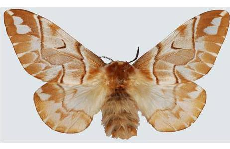 Birkenspinner (Endromis versicolora), Weibchen, Wien-Prater; Foto: M. Lödl, NHM Wien