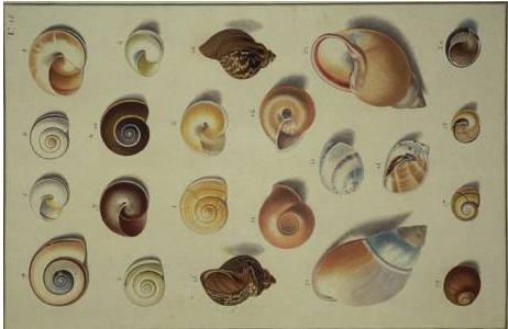 Tafel 15 aus dem Prachtband von Ignaz von Born (1780),; Foto: NHM Wien, Mollusken Sammlung