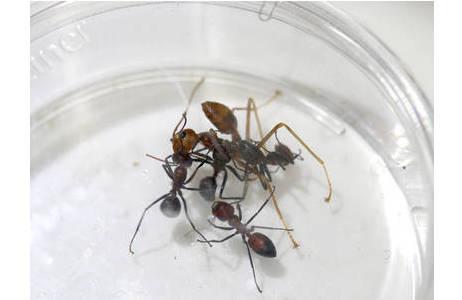 Verhaltensexperimente mit COCY-Ameisen und der Weberameise; Foto: A. Kopchinskiy