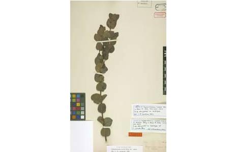 Typus Beleg von Campomanesia cyanea O. Berg, [W0048384], gesammelt von Friedrich Sellow in Montevideo, in Uruguay, das früher auch zu Brasilien gehörte; Foto: NHM Wien