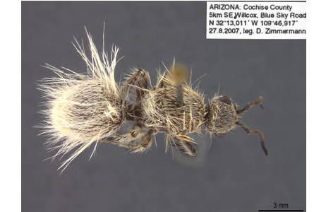 Exemplar der Ameisenwespe Dasymutilla gloriosa, das von der Sammlungskuratorin Dr. Dominique Zimmermann auf einer Forschungsreise nach Arizona gefunden wurde.; Foto: NHM Wiuen