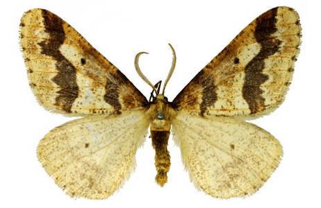 Die Farbe und Zeichnung des Männchens (Groß: Erannis defoliaria) ist sehr variabel und reicht von fast einfarbig graubraun bis hin zu kontrastreichen, gemusterten Färbungen; Foto: H. Bruckner, NHM Wien