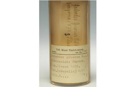 Galeodes graecus C.L. Koch, 1842 – Alkoholpräparat, Etikette(n) auf der Rückseite des Schauglases; Foto: A. Schumacher, NHM Wien