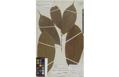 Beleg von Theobroma glaucum H. Karst. Herbar W [W-0004865]. Diese Kakao-Art des Typusbelegs wurde von H. Karsten in Villavicencio, Llano de St. Martin, Kolumbien im 19. Jh.  gesammelt.; Foto: NHM Wien