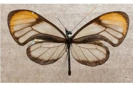 Abb. 4: Hypoleria alema karschi, Peru; Foto: M. Lödl, NHM Wien
