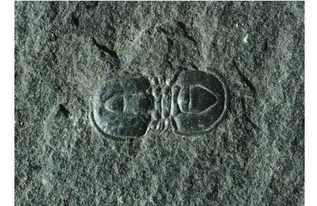 Planktonischer Trilobit (1952-0030-0003)