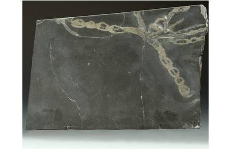 Asselspinne (2000z0198-0000)