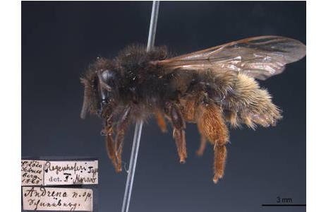 Typusexemplar von Andrena rogenhoferi, das auf dem Schneeberg in Niederösterreich gesammelt wurde.; Foto: NHM Wien
