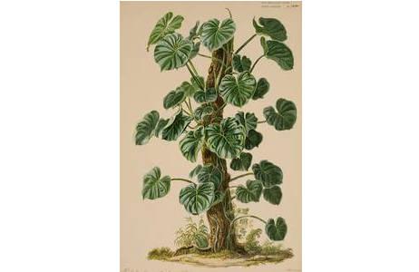 "Johann Oberer, ""Philodendron pterotum"", Gouache, Wien um 1860; Foto: NHM Wien"